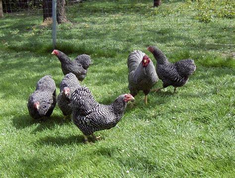 hühnerhaltung im garten h 252 hnerhaltung im eigenen garten