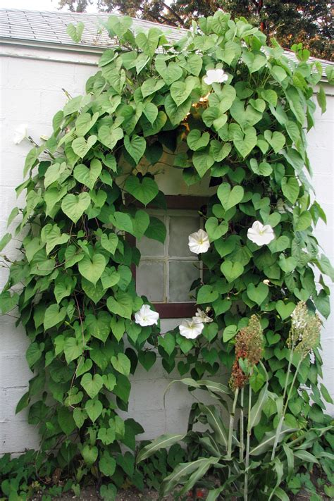 10 fast growing flowering vines best wall climbing vines to plant
