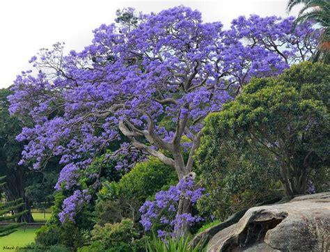 pianta con fiori viola a grappolo jacaranda jacaranda mimosifolia jacaranda mimosifolia