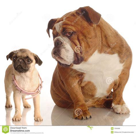pug growth bulldog and pug puppy stock photo image of adorable growth 7056086