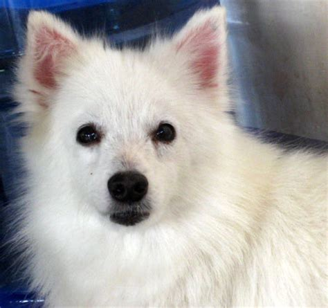 how much is pomeranian in philippines japanese spitz philippines