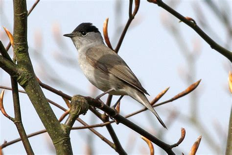 eurasian blackcap wikipedia