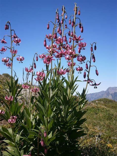 lilium martagon wikispecies