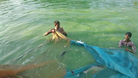 bid fish catching big fish in bangladesh pond