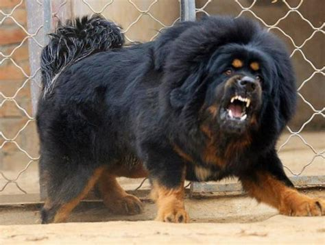 big puppy tibetan mastiff price in usa big breeds puppy site anything can happen