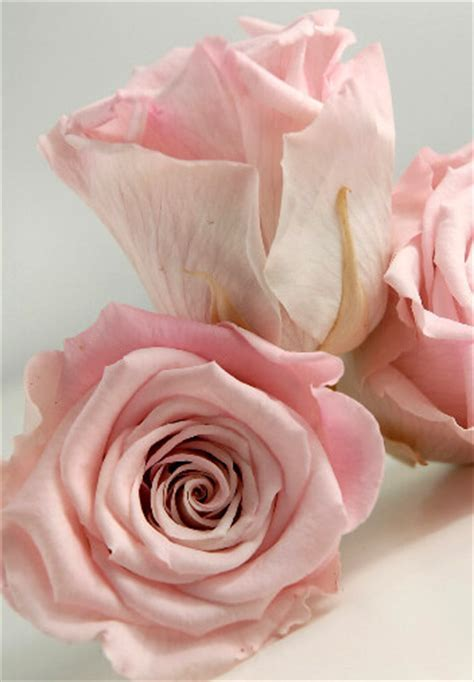 Preserved Roses Pink
