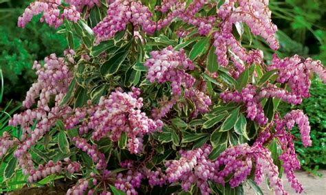 andromeda flowering shrub pieris collection five different evergreen plants in