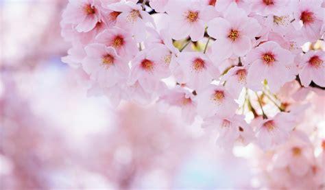 sfondi a fiori fiori ciliegia fiore petali primavera sfondi per il
