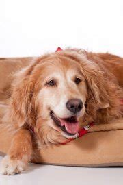 average expectancy for golden retrievers golden retriever span how do golden retriever s live