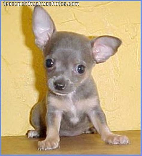 blue merle teacup chihuahua puppies sale animals i them on chihuahuas puppys and ligers