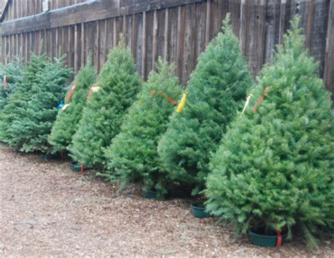 how to care for a freshly cut christmas tree home design