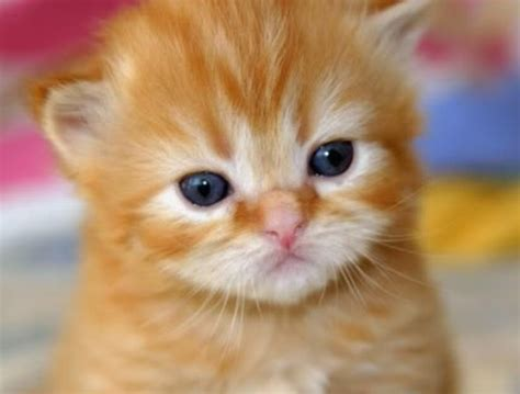 wallpaper animasi imut kumpulan gambar kucing lucu imut kumpulan gambar