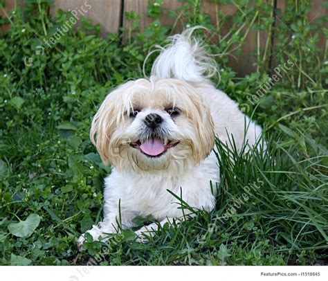 happy shih tzu image of happy shih tzu