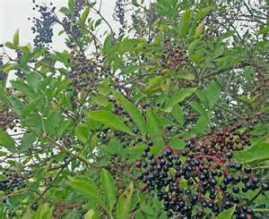 a winter s tonic elderberry syrup recipegreenside up