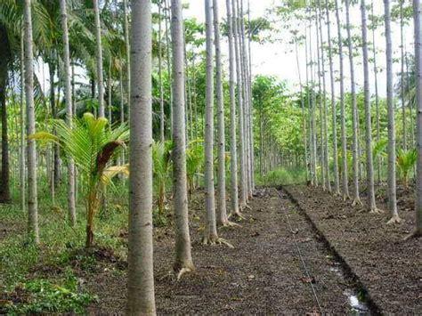 Harga Bibit Sengon Solomon 2018 jual bibit kayu sengon solomon laut dll murah terpercaya