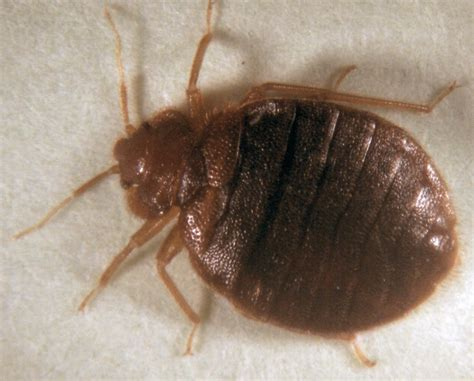 bed bug predators cock roaches pictures on animal picture society