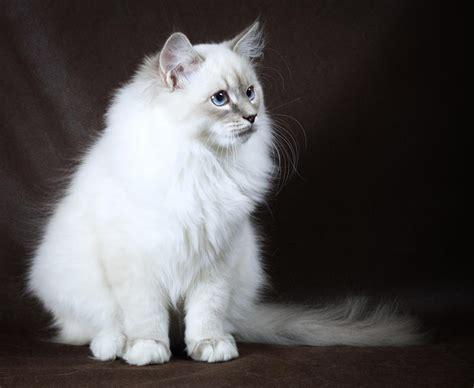 Cp Neva neva masquerade cat cat breeds encyclopedia