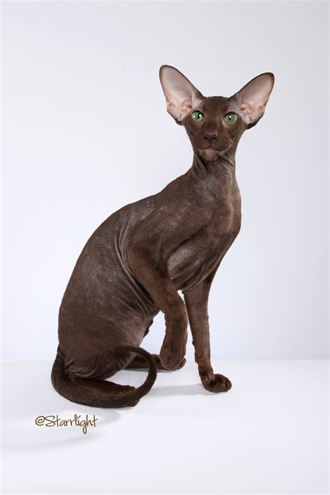 Oriental Design Purrsia Cattery Peterbald Cats And Kittens