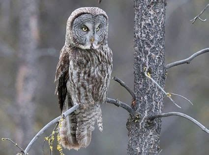 great gray owl identification all about birds cornell