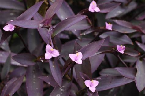 purple leaves pink flowers shrub tips on adding color to autumn landscapes in home grown at