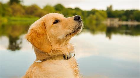 Puppy Golden Retriever what is the best food for golden retriever puppies