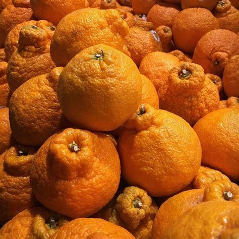 Bibit Jeruk Dekopon jeruk dekopon informasi keunggulan dan budidaya mediatani