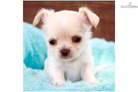 baby puppies for free free teacup chihuahua puppy breeds picture