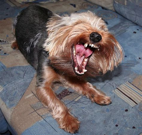 yorkie breathing problems indicators of respiratory problems in yorkies