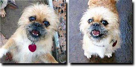 half shih tzu half pug national brussels griffon rescue inc