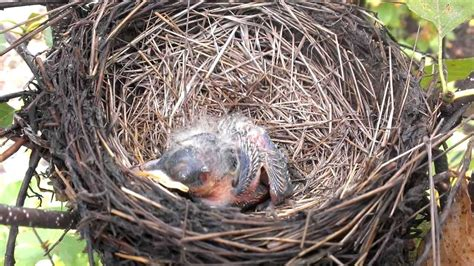 baby bird sleeping in nest youtube