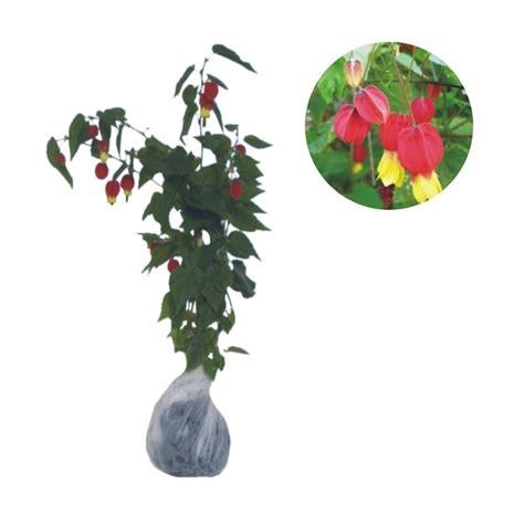 Pupuk Untuk Bunga Sepatu jual bibit tanaman murah bunga lion pulau jawa