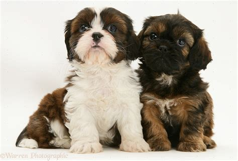 cavalier x shih tzu dogs cavazu pups photo wp21930