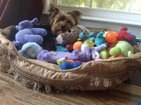 best toys for yorkies 1480 best images about yorkie on