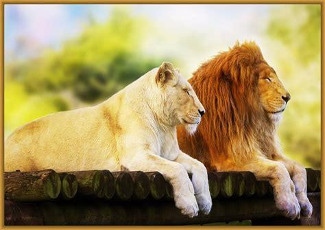 imagenes leones para niños imagenes de leones para pintar archivos imagenes de leones