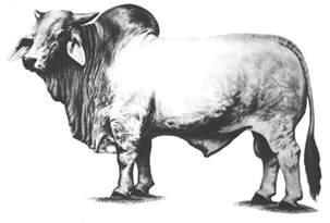 brahma bull drawings www pixshark com images galleries