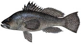 sea bass in costa rica sportfishing costa rica fishing