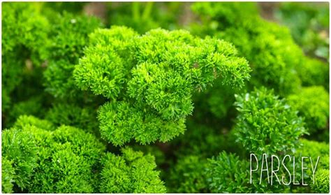 Parsley Detox Side Effects by 20 Diuretic Foods To Detox Lose Weight And Lower Your