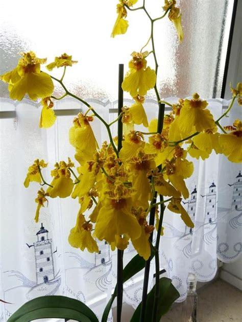 Wie Pflegt Orchideen Richtig 4793 by Wie Pflege Ich Eine Orchidee Oncidium Richtig Mein