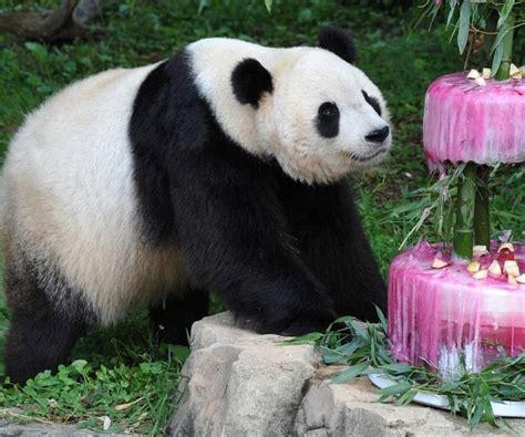 images of panda bears images national zoological park panda bears 10523