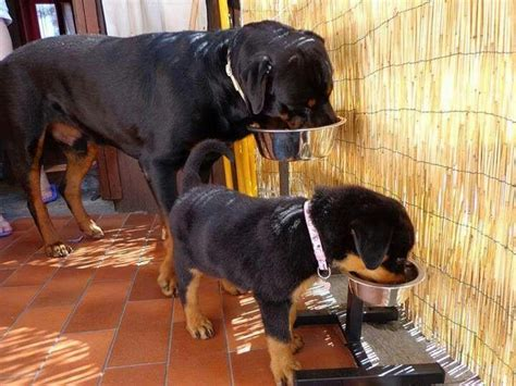 dogs like rottweilers the world s catalog of ideas