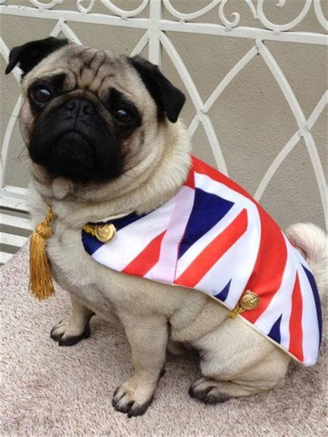 elizabeth pug jubilee your pictures buxton pug and the