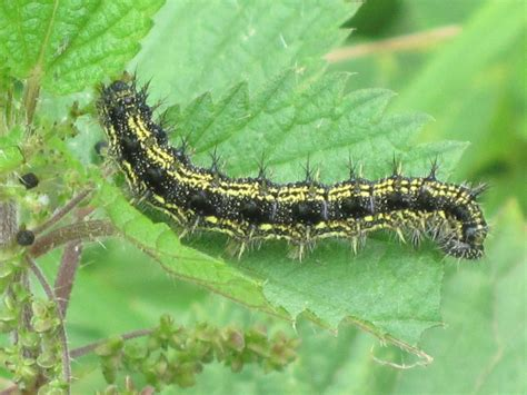 Wi Small Search File Aglais Urticae Small Tortoiseshell Caterpillar Arnhem The Netherlands Jpg