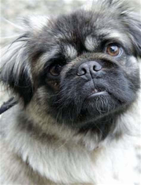 pug lhasa apso 1000 ideas about pug mixed breeds on chugs pug zu and corgi mix