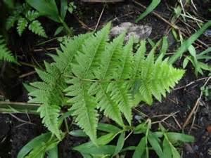 klasifikasi tumbuhan paku suplir adiantum cuneatum gambar
