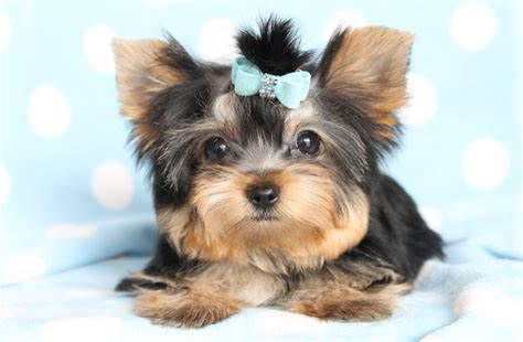 yorkie puppies vancouver canadian purebred terriers puppies for sale in vancouver sparkling