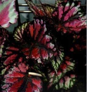 Pupuk Untuk Bunga Begonia jual bibit unggul tanaman begonia rex bibit