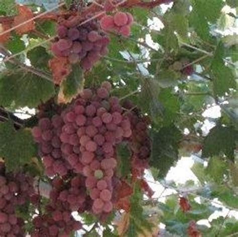 potatura uva da tavola potare le viti giovani tecniche di giardinaggio