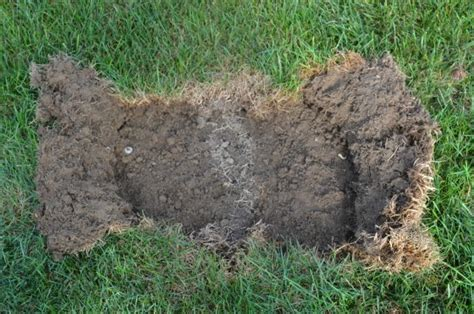 why is my grass all of a sudden skunks digging moles tunneling why are they digging up my lawn self sufficiency