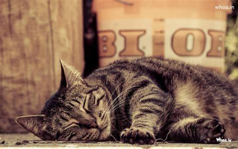 sleeping cat hd wallpaper    desktop background