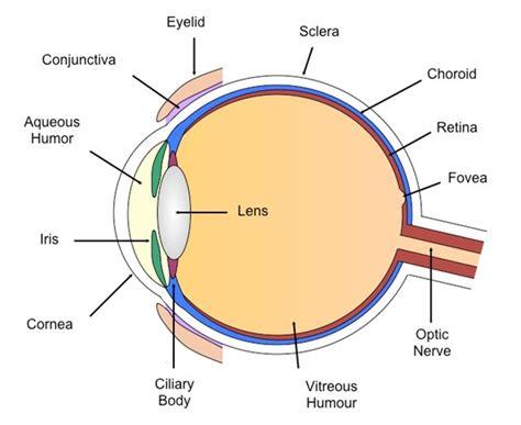 diagram of human eye human eye diagram without labels